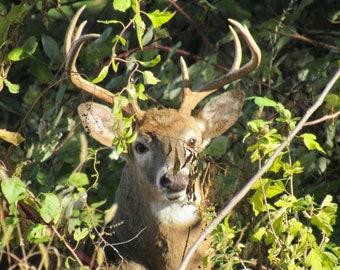 Buck in Hiding 01