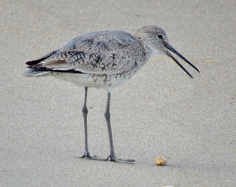 OBX Chatting Willet 01
