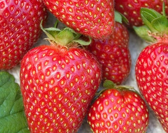 Set of 5 All Star Strawberry, Junebearing, Highly productive!! Largest strawberry variety!