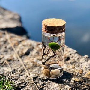 Marimo Moss Ball Terrarium Kit Crystal Clear with Glass Vase and Cork Stopper FREE SHIPPING