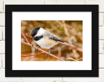 Bird Prints, Black-capped Chickadee Photography, Wall Art