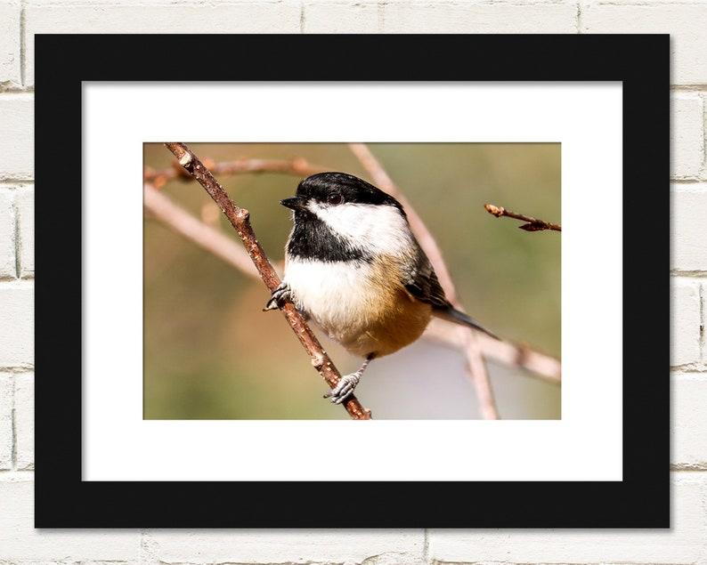 Bird Prints Black-capped Chickadee Winter Photography Wall image 0