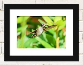 Bird Prints, Ruby-throated Hummingbird Photography, Wall Art