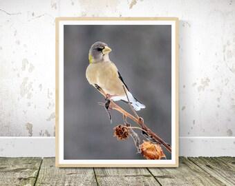 Bird Prints, Evening Grosbeak Bird Photography, Bird Wall Art