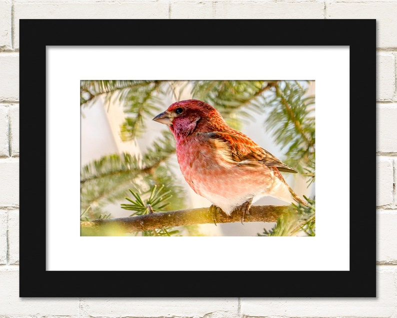 Bird Prints Purple Finches Photography Wall Art image 0