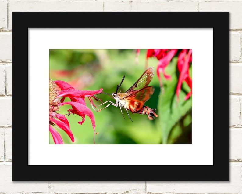 Hummingbird Moth Prints Nature Photography Wall Art image 0