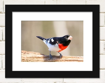 Bird Prints, Rose-breasted Grosbeak Bird Photography, Photos of Rose-breasted Grosbeak Bird Wall Art