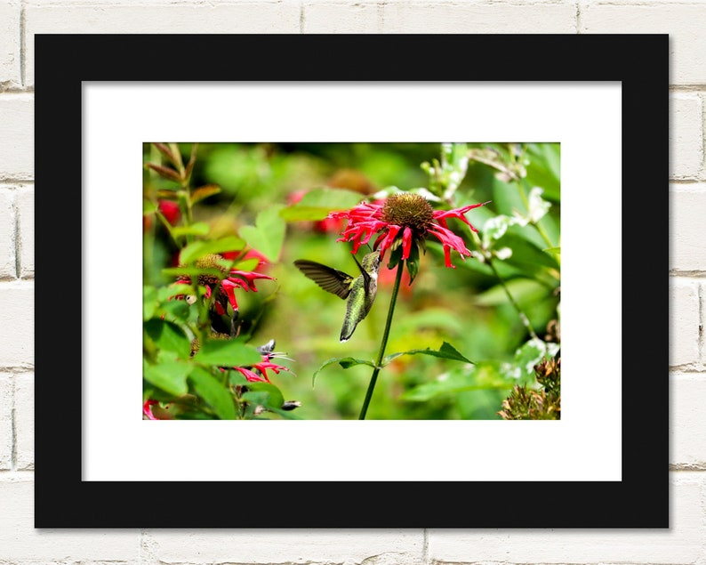 Hummingbird Photography Prints Bee Balm Ruby-throated image 1