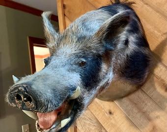 Antique mounted Wild Boar Head.