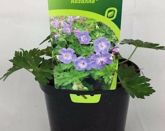 Hardy Geranium /'Rozanne/' x 2 Plants in 2L pots .
