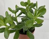Crassula Money Plant 12cm Pot