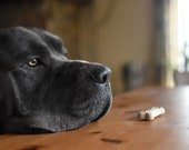 Learning patience and self control: Cane Corso dog looking past biscut on dining room kitchen table treats.