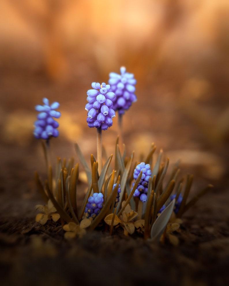 Grape Hyacinth Purple Brown Photography Spring Nature image 0