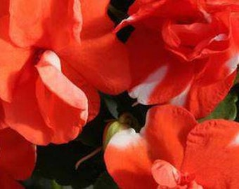 0dc40ccc1c66d Impatiens Orange Flash Garden Balsam Flower 20 Seeds orange and white  bicolor semi double rosebud blooms