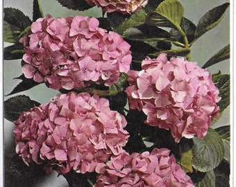 HYDRANGEAL - Used Vintage Postcard Posted in 1969 Published by Arthur Dixon Ltd
