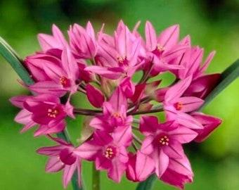FREE SHIPPING Allium Oreophilum bulbs (Mountain Lover, Pink Lily Leek), dawrf ornamental plant for Alpine gardens 4/5
