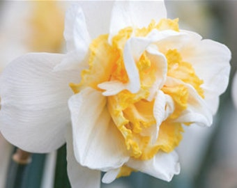 Veste Bleu Hyacinth x 30 ampoules Intérieur//Extérieur Ampoules très parfumée