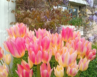 Tulip Antoinette bulbs | Multi-head flowers (Tulipa Chamelion) changes colors yellow to pink 11/12 - High quality Dutch bulbs