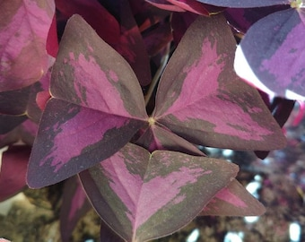 FREE SHIPPING Oxalis triangularis (bulb/corm) | Wood sorrel, purple shamrock | Flowering houseplant