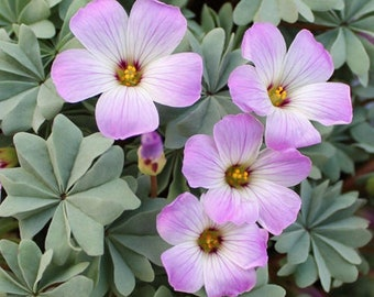 PRE-ORDER for September dispatch: Oxalis Adenophylla (bulb/rhizome) | Silver shamrock, Chilean oxalis | Alpine flowering perennial 6/7