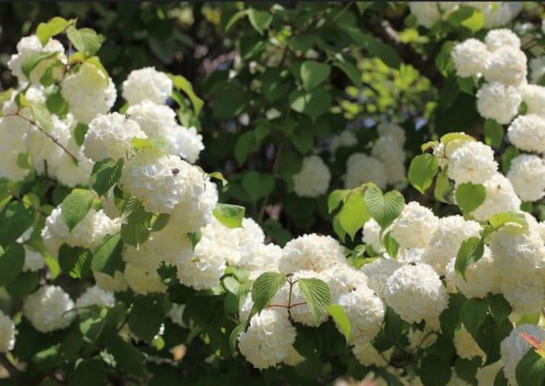 Japanese Snowbell Tree White Fragrant Flowering Tree Etsy