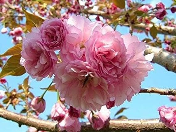 Kwanzan Flowering Cherry Tree 3 4 Ft Bare Root Prunus Etsy