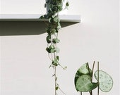 20 cm String of hearts hanging succulent whole living plant(ceropegia woodii)