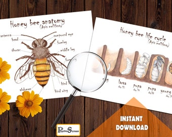 honey bee anatomy and life cycle / watercolor art / homeschool printable /  education / insect parts / montessori / learn / bug / boy / girl