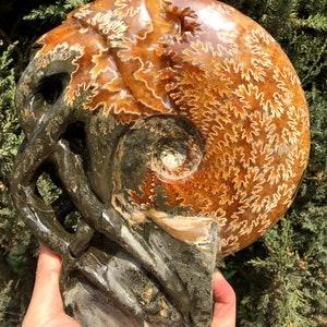 Fine polishing Ammonite Can stand upWhole Ammonite FossilAuthentic Ammonite FossilPrehistoric FossilNautilus ShellHealing fossilgift