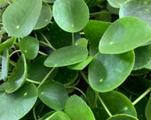 Pilea Peperomioides Chinese Money Plant Pancake Plant