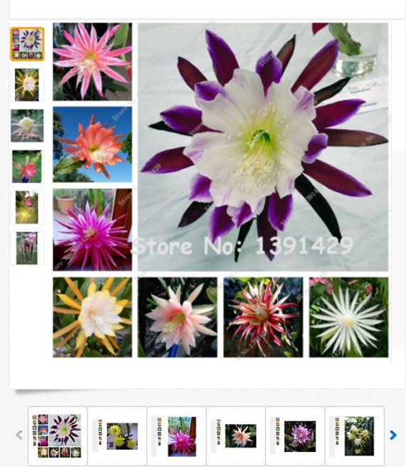 Plants Seeds Bulbs Seeds Large Flowered Mixture Epiphyllum Hybrids Orchid Cactus Kisetsu System Co Jp