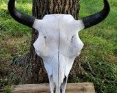 Buffalo Skull, American Bison,Native,Science,Head Horn,Taxidermy,Education