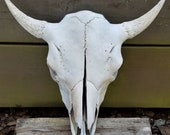 Buffalo Skull, American Bison,Native,Science,Head Horn,Taxidermy,Education