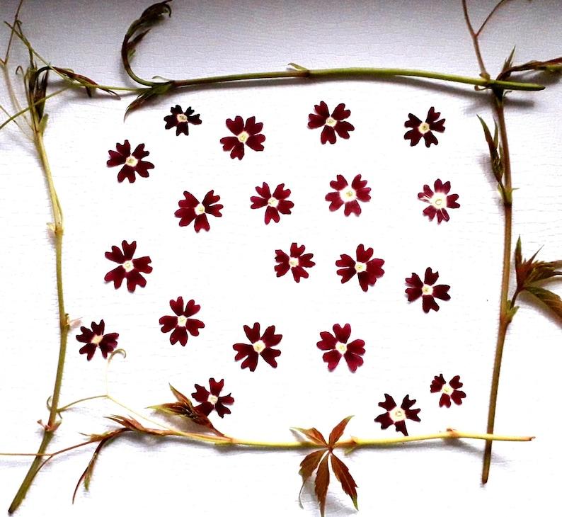 dried verbena 20 pcs verbena flowers Pressed verbena