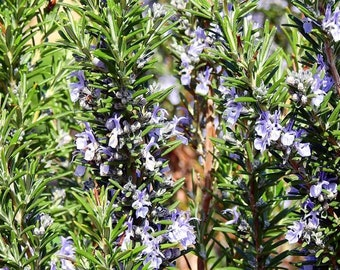 20pcs Rosemary Rosmarinus Officinalis Seeds