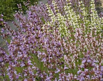 Sage Seeds (Salvia officinalis) Organic