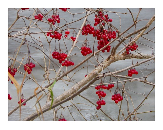Winter Berries Winter Red Berries Covered In Frost In Etsy