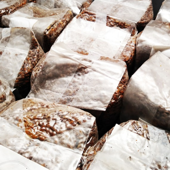 3 x 3 lbs bags of Sterilized Hydrated Rye Berries Perishable Product Please refrigerate if not used immediately