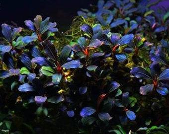 1 bucephalandra micro! Live aquarium plants! Free s/h live aquatic plants!