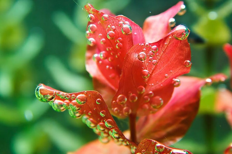 3 stems rotala macrand red live aquarium plants free sh live aquatic plants gorgeous!! RARE!!!