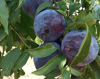 Wild Plum Tree Seeds Delicious 6 Pits Organically Grown Heirloom Beautiful