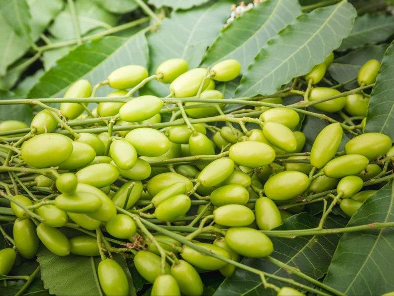 10 PCS Neem Tree Fresh Seeds Nimtree Azadirachta indica Lilac 100/% germination