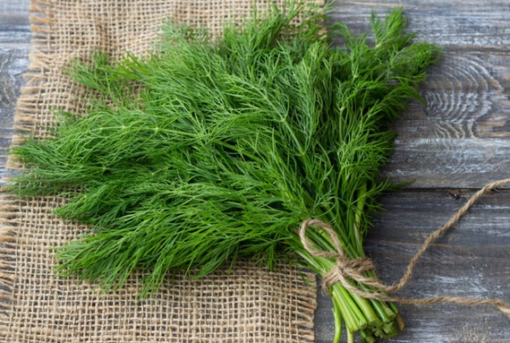 100 Seeds DILL Long Island Mammoth Fresh Fragrant Aroma healthy green Herbs