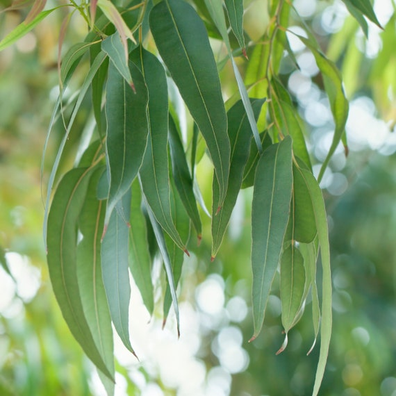 200 Eucalyptus globulus fresh Leaves cuttings Eucalyptus | Etsy