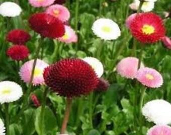 Perennial English Daisy Lipstick Bellis Flower Seeds Habanera 50