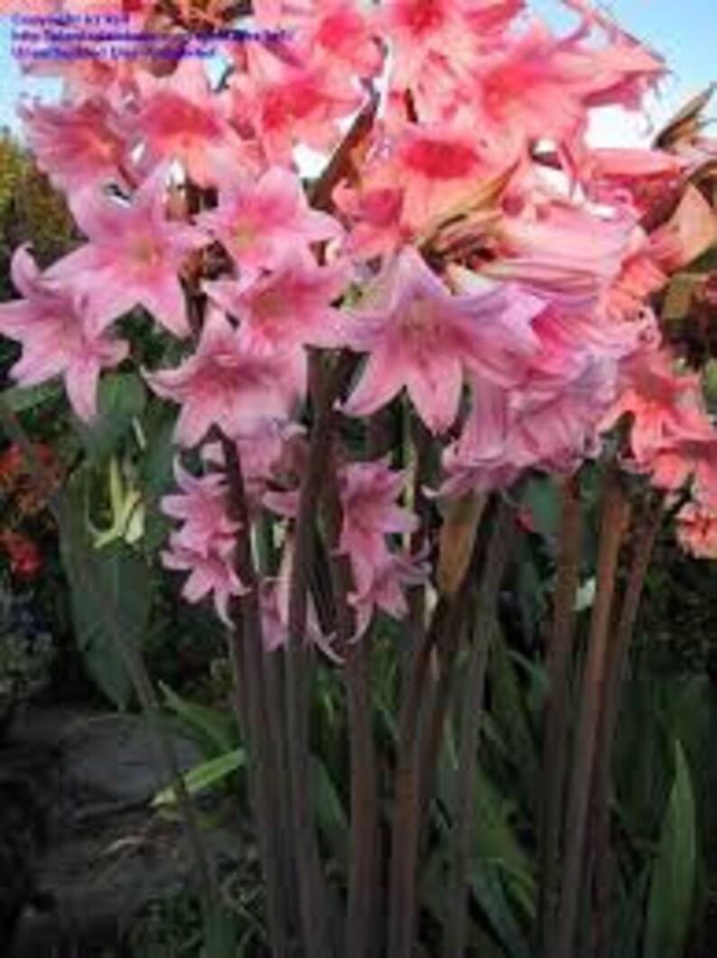 8 Amaryllis Belladonna - Pink Naked Ladies - Surprise Lily