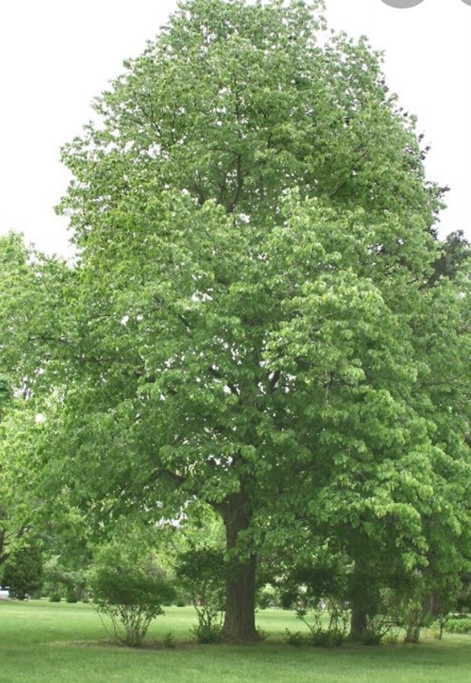 Tilia Americana tree, 1 year old (American basswood) 6-12