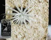 Air Plant Sconce Wall Mount