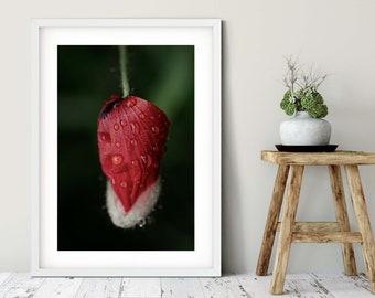 Photography poppy bud in the rain, 50 x75 cm, 60 x 90 cm, 70 x 105 cm, large poster