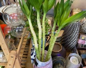 Lotus bamboo lucky bamboo house plant indoor plant